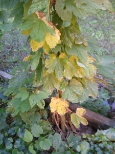 Low nitrogen or not enough water can cause leaves to yellow.